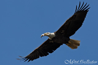 Odd Behavior (American Bald Eagle)