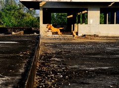 ,, Rocky, Mama, Roof ,, (Jon in Thailand) Tags: roof dog dogs happy flying jumping nikon rocky running excited mama jungle nikkor leaping k9 morningsun flyingdog d300 happydogs 175528 littledoglaughedstories thedogpalace