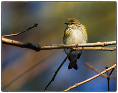 "Yellow-rumped warbler (5'20"") Tags: morning winter nature birds wildlife warbler"