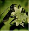 The Loving Embrace (Vidterry) Tags: iso800 wasp wespe 150mm nikkor105mm blackwasp kenko14xtc nikond300 ev113 giantblackwasp 11250thf18