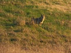 Coyote (Corgibird) Tags: coyote dog nature dam predator lakelewisville wolflike