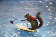 Twiggy waterskiing at Toronto Boat Show (suesthegrl) Tags: animal squirrel tricks waterskiing twiggy torontoboatshow boatshowto