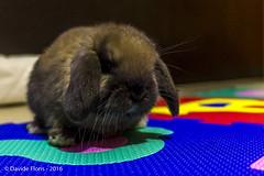 Bob (df18photos) Tags: rabbit animals bob animali coniglio hollandlop sandamaso casadimarco arietenano miniaturelop