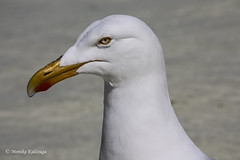 Eye contact (Monika Kalczuga) Tags: holland bird nature netherlands animal coast outdoor seagull gull shoreline shore coastline noordholland aquaticbird