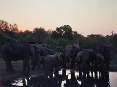 A group of elephants (chillbay) Tags: africa camp southafrica safari elephants waterhole krugernationalpark kruger tandatula krugerafrica