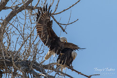 Bald Eagles copulating sequence - 2 of 28