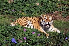 Shasta (Shastyuh) a.k.a. Martha (greekgal.esm) Tags: tiger bigcat siberiantiger sanfranciscozoo amurtiger