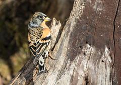 23 01 2016 (cathyk31) Tags: bird oiseau brambling fringillamontifringilla pinsondunord fringillids passriformes
