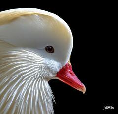 Albino Mandarin Duck (jt893x) Tags: portrait bird duck nikon sigma m albino mandarinduck d800 aixgalericulata 150600mm sigma150600mmf563dgoshsms