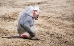 Hamadryas baboon (Hans van der Boom) Tags: netherlands animal nederland baboon nl primate safaripark beeksebergen noordbrabant hamadryas hilvarenbeek hilarenbeek
