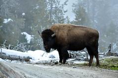 Bison at Old Faithful III (•bether•) Tags: winter nature nationalpark wildlife oldfaithful yellowstone geyser bison natgeoexpeditions winterwildlifeinyellowstone