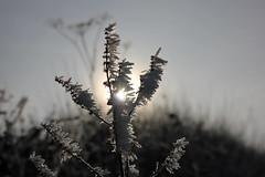 Raureif (08) (Rdiger Stehn) Tags: schnee deutschland europa natur makro eis raureif nahaufnahme schleswigholstein reif 2000s norddeutschland 2016 mitteleuropa makrofoto eiskristalle makrofotografie 2000er kreisrendsburgeckernfrde dnischerwohld nahfotografie canoneos550d