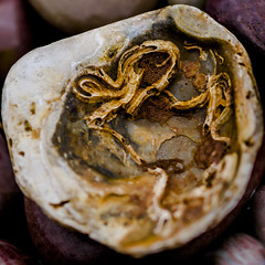what lies within (Redheadwondering) Tags: beach seaside shell pebbles devon oyster 13 budleighsalterton sigma50mmdgmacro sonya850 116picturesin2016 minimoonx 13shell