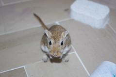 ehil (conforti.pietro) Tags: animals gerbil rodents animale gerbillo