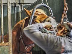 P1290055 (gill4kleuren - 11 ml views) Tags: horse sarah dentist haflinger tandarts 2015