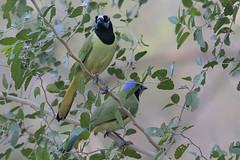 Green Jay (Greg Lavaty Photography) Tags: bird nature december texas tx wildlife valley riogrande greenjay cyanocoraxyncas