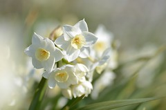 scent of spring (snowshoe hare*) Tags: flowers flower spring botanicalgarden narcissus signsofspring   dsc1042