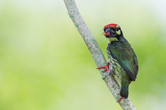 Coppersmith Barbet (MEphotog) Tags: park wild food birds mouth singapore pasir coppersmith ris barbet