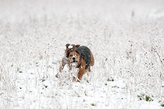 Playing... and running in the snow (Antoine Debroye) Tags: beaconsfield england nikon unitedkingdom tc 17 70200 vrii d300s tangojackpotbeaconsfieldsnow2016