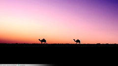 desert ship |   (Abdullah Al-Marshoud) Tags: sunset animal sunrise desert camel