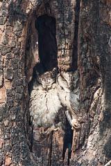 Indian Scops Owls (Shaunak Modi) Tags: bird birds nationalpark birding maharashtra raptors birdsofprey otusbakkamoena indianscopsowl tigerreserve birdsofindia penchnationalpark shaunakmodi sillarirange