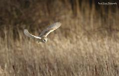 Barn Owl, Tyto alba (Midlands Reptiles & British Wildlife Diaries) Tags: david barn liverpool alba nixon owl british owls tyto