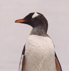 1998_01_16_28 (petermit2) Tags: penguin gentoo antarctica antarctic gentoopenguin portlockroy antarcticpeninsula wienckeisland wiencke goudierisland palmerarchipelago