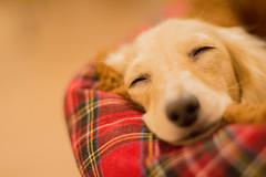 IMG_3344 (yukichinoko) Tags: dog dachshund 犬 kinako ダックスフント ダックスフンド きなこ