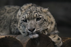 SNOW LEOPARD (yuchan01) Tags: animal japan zoo sapporo snowleopard maruyama