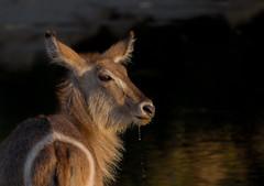 Waterbuck - Kobus ellipsiprymnus - Ellipsenwasserbock (jaffles) Tags: park holiday nature southafrica outdoor wildlife natur olympus safari national np südafrika kruger krüger