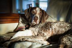 Relaxing on the couch (michael.mu) Tags: leica dog 35mm gsp germanshorthairedpointer m240 leicasummicron35mmf20asph lr5 leicasummicronm1235mmasph