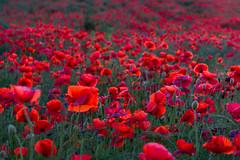DSC04652 (wheelsy1) Tags: walking derbyshire poppy chesterfield sheepbridge poppyfield unstone richardwiles