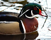 Wood Duck (Aix sponsa) (Larry Wilkin) Tags: camera bird nature animal photo duck nikon woodduck aixsponsa springmigration nikond5200 nikonnikkor55300mm