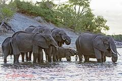 african bush elephant2 (loxodonta africana) (Colin Pacitti) Tags: elephant river outdoor ngc wildanimal loxodontaafricana coth herdofelephants africanbushelephant elephantsdrinking fantasticwildlife coth5 hennysanimals sunrays5