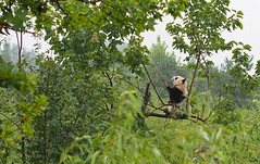 Curious Panda in Xi'An China (Tamas V) Tags: china bear wild plant tree cute green nature animal forest giant asian mammal furry asia panda image bokeh outdoor wildlife stock environmental olympus images bamboo 45 xian getty species curious endangered wilderness giantpanda istock protection environmentalism 45mm wwf gettyimages 43 omd shaanxi oly stockphoto naturephotography stockphotography m43 stockimage fourthirds enviornmental wildlifephotography 45mmf18 em5 environmentalprotection bokehlicious naturephotograph u43 micro43 microfourthirds wildlifephotograph olympusomdem5 omdem5