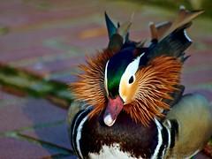 Mandarin Ente (ingrid eulenfan) Tags: bird ente tier vogel mandarinente