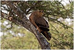 The Attentive Raptor! (MAC's Wild Pixels) Tags: tanzania eagle ngc npc raptor scavenger tawnyeagle beautifulbird ngorongoroconservationarea wildafrica lakendutu birdsofeastafrica macswildpixels theattentiveraptor