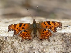 Comma (ukstormchaser (A.k.a The Bug Whisperer)) Tags: wood uk macro animals closeup fly wings butterflies insects flies april milton keynes comma