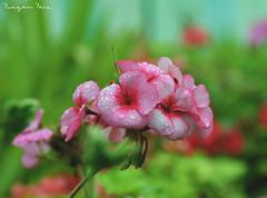 Nature <3 (Furqan Faiz) Tags: new flowers flower nature beautiful lens amazing nikon nikkor tamron nikkor1855mm nikonphotography instagramapp nikond5300 nikontop