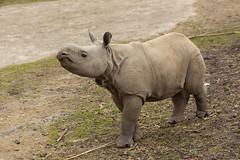 Rhinoceros baby Quabid (wendyderoover) Tags: zoo rhinoceros planckendael dierentuin neushoorn
