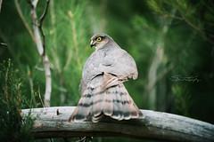 DSC_9386fb (szugic) Tags: trees wild bird nature animal wings eagle flight hide sparrowhawk accipiternisus