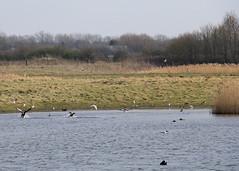 North Cave Wetlands (nataliemarchant) Tags: birds yorkshire tuftedduck eastyorkshire shelduck blackheadedgulls greylaggeese yorkshirewildlifetrust northcavewetlands