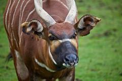IMG_0797 (jonshearer88) Tags: animal animals zoo wildlife bongo whipsnade