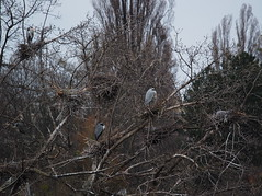 Graureiher (Ardea cinerea) (Sam.24) Tags: vienna austria wasser nest kalt vogel fische fischreiher graureiher altedonau windig kolonie wassrpark