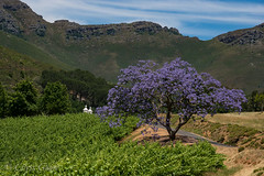 The Jacaranda tree (chrys goote) Tags: jacaranda stellenbosch jacarandatree bignoniaceae blouwklippenvalley blaauwklippenroad