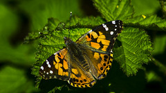 _DSC6558 (ron_kuest) Tags: butterfly paintedlady ronkuest