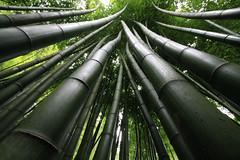 Bamboo Forest, Trebah Garden, Cornwall