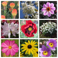 Seasonal flowers... and every one a gem! (lindad4a) Tags: dahlia flowers collage blossom poppy snowdrops azalea anenome cosmos redhotpokers