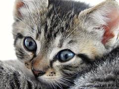 Kitten (peeteninge) Tags: nature animal cat kitten dieren poes