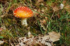 After the rain (crglanville) Tags: autumn mushroom sony olympus toadstool zuiko a7
